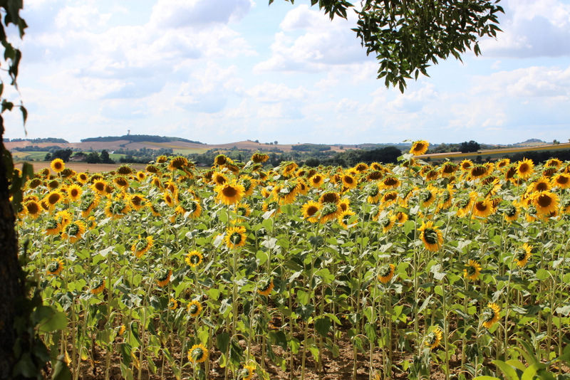 View of sunflowers